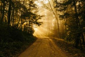 skov vej sol gennem trærer-c