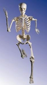 anatomi-skelettet