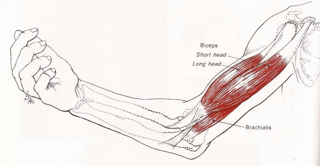 muskelsmerter i arm