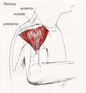 deltorideus-c