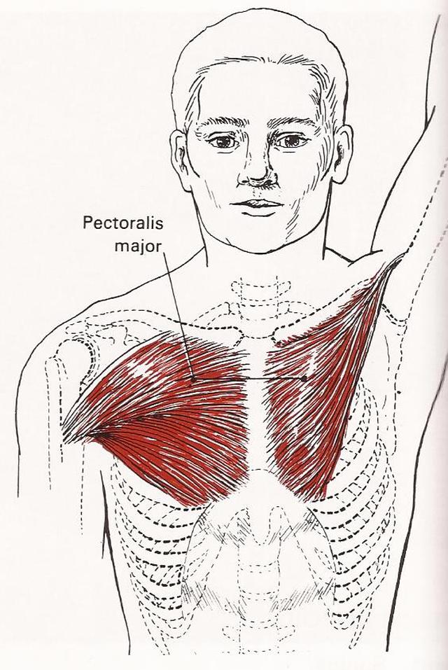 muskler i brystet